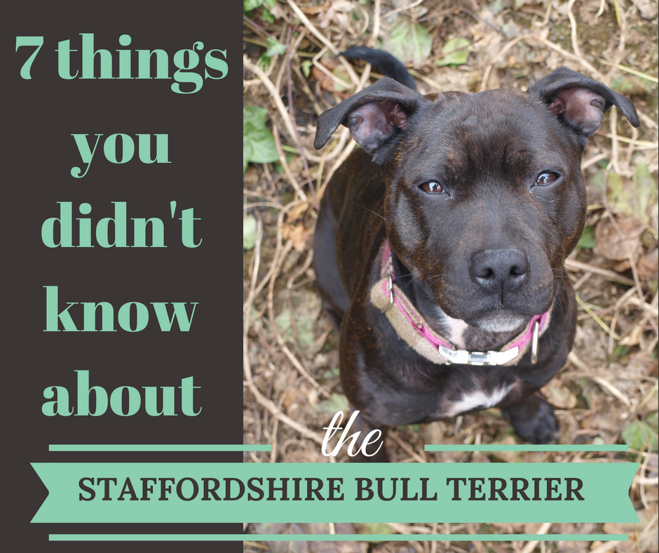 7 things about staffies Facebook